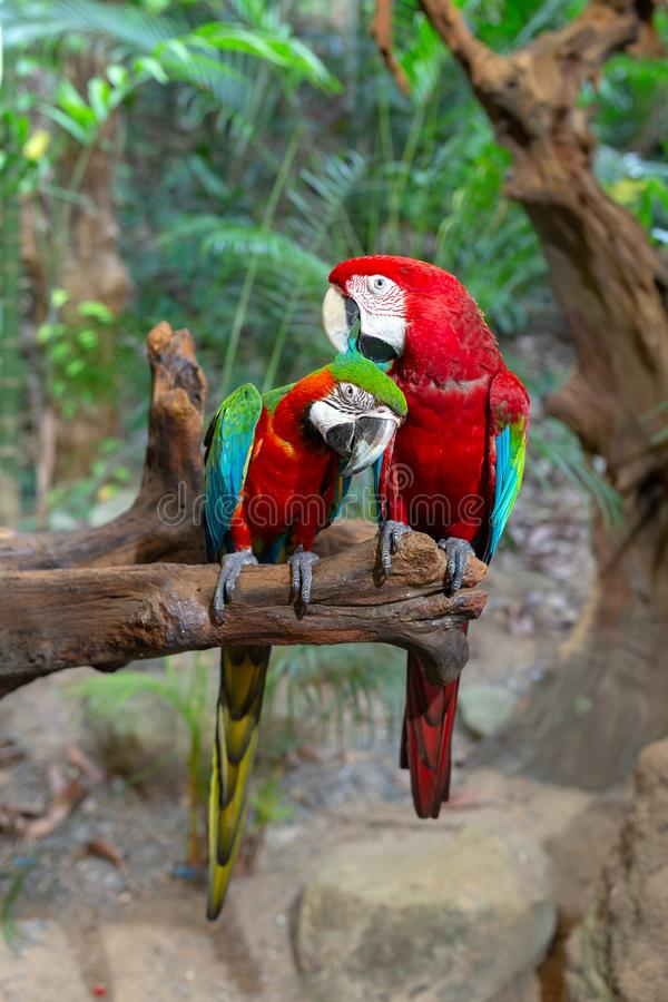 Couple of Ara parrots in love on a tree branch royalty free stock photo