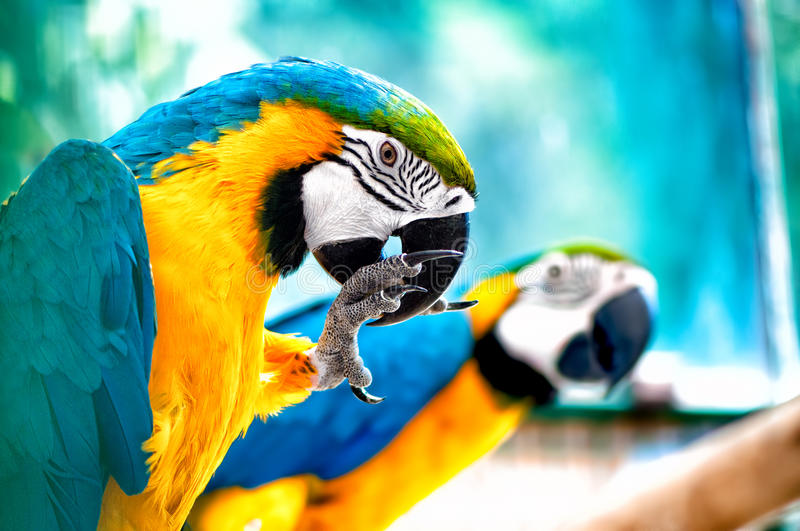 Pair of Macaw parrots in the wild in tropical jungle. Pair of Macaw parrots in the wild with tropical jungle background royalty free stock images