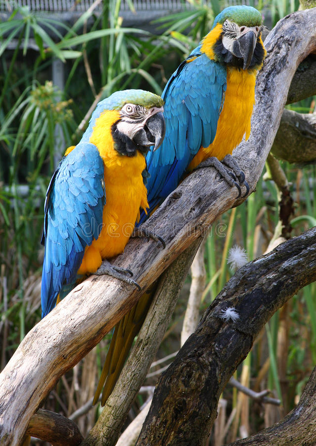Pair of macaws. On a branch royalty free stock photo