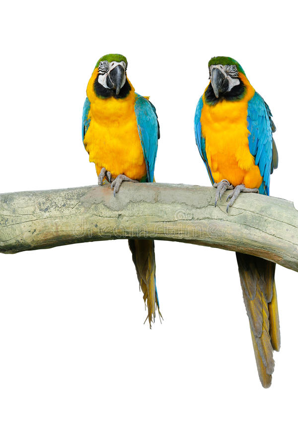 Pair of Macaws. Pair of blue and yellow Macaws on the wood. The object completely isolated from the white background for designing purpose stock image