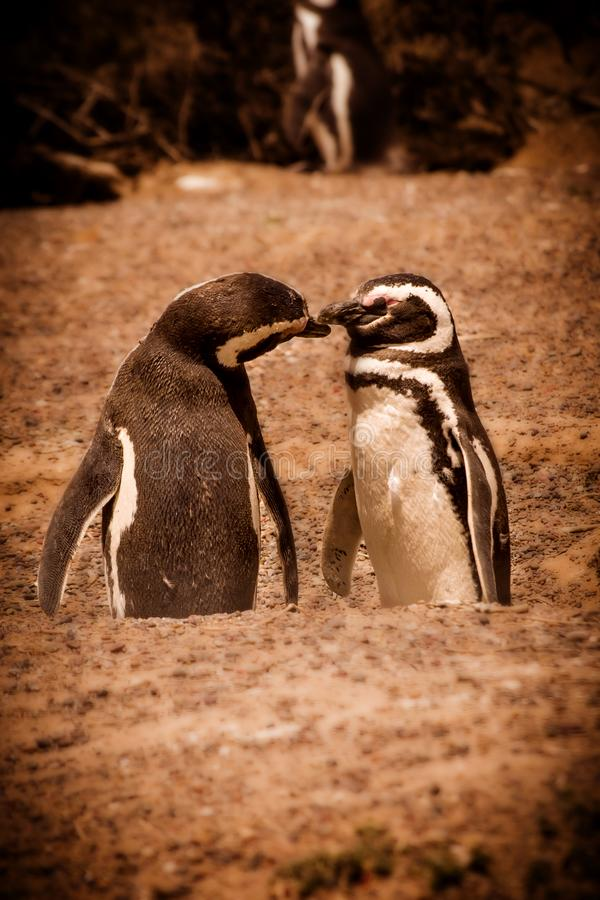 The pair of Magellanic Penguins royalty free stock image