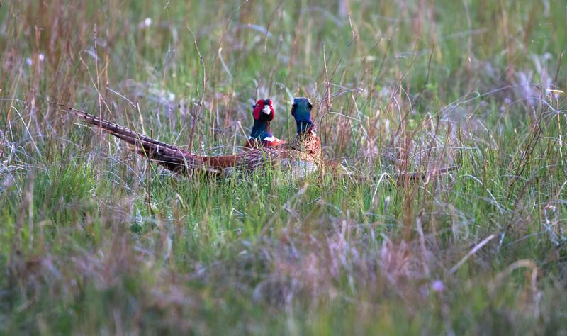 A pair of male common pheasants Phasianus colchicus fighting. A pair of male common pheasants Phasianus colchicus fight for rights to mate with a female royalty free stock image