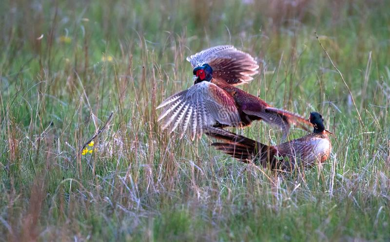 Male common pheasants Phasianus colchicus fighting. A pair of male common pheasants Phasianus colchicus fight for rights to mate with a female. Photographed in a stock photo