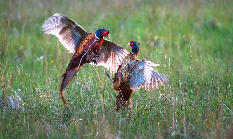 Male common pheasants Phasianus colchicus fighting. A pair of male common pheasants Phasianus colchicus fight for rights to mate with a female. Photographed in a stock image
