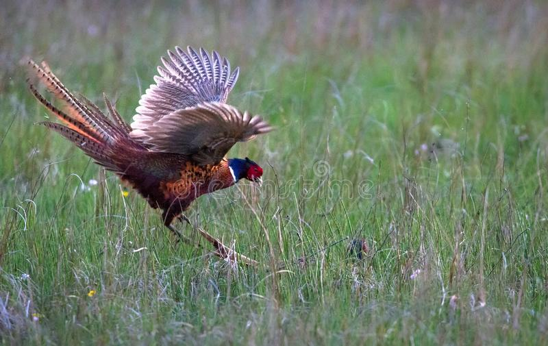 Male common pheasants Phasianus colchicus fighting. A pair of male common pheasants Phasianus colchicus fight for rights to mate with a female. Photographed in a royalty free stock photo