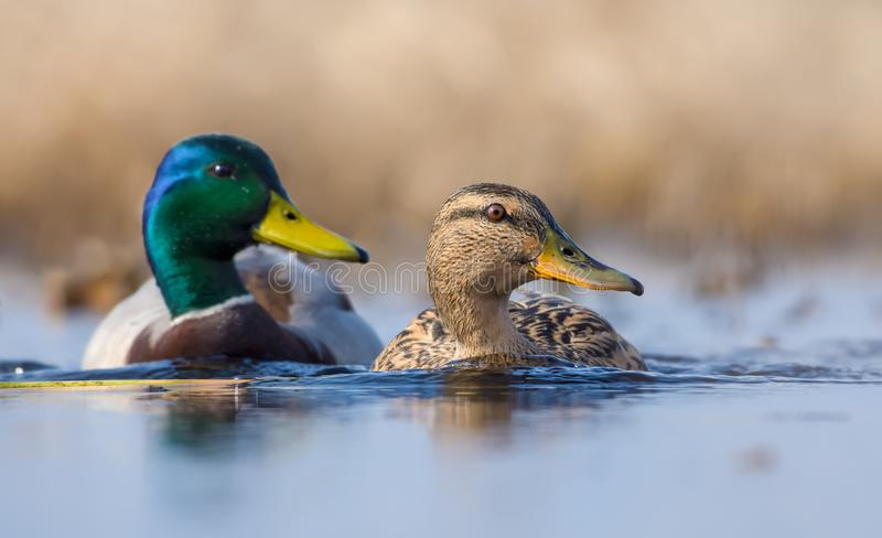 Pair of Male and female mallards swimming together with turned heads over some waterpond royalty free stock photos