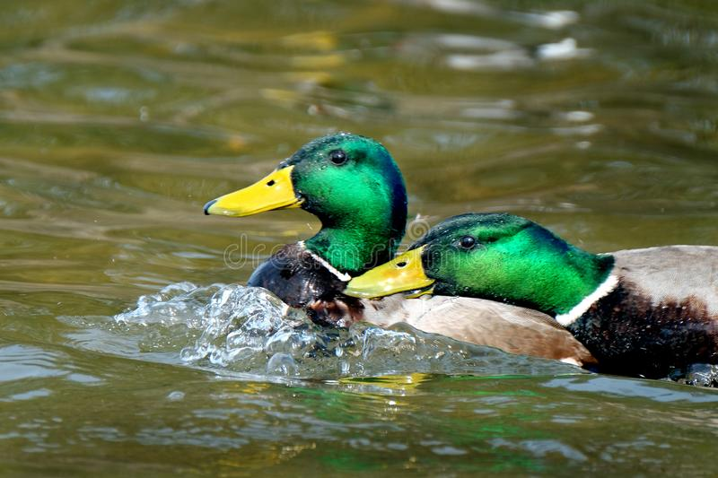 Pair of male Mallard drakes fighting over territory. stock images