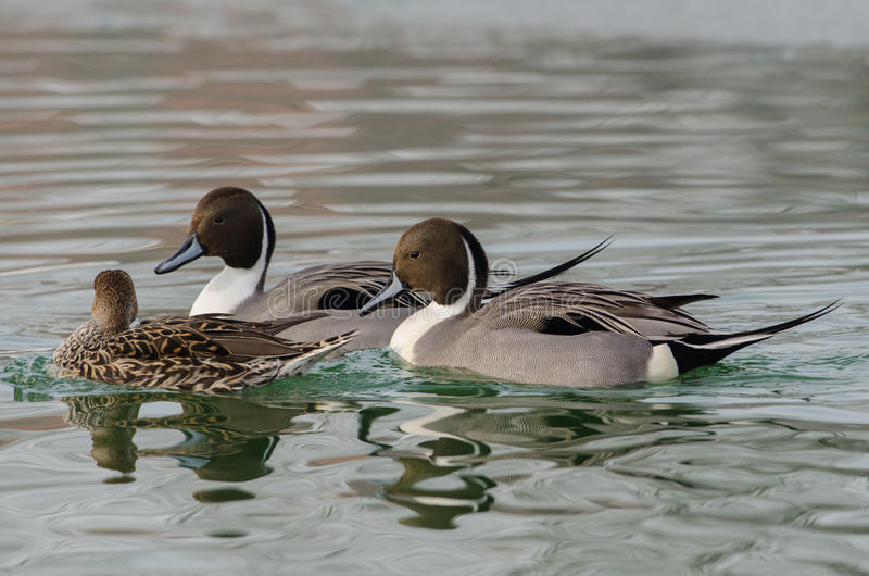 Pair of males with a female duck codon. Pair of males with a female pintail duck in the Po delta in the breeding season royalty free stock photography