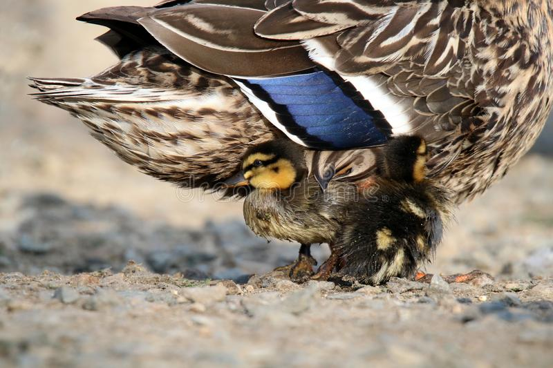 Duckling Snuggle. A pair of mallard ducklings snuggle with their mother duck. Ducklings need to spend some time on land getting warm and drying out their