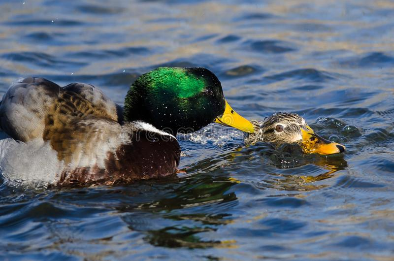 Pair of Mallard Ducks Mating on the Water stock images