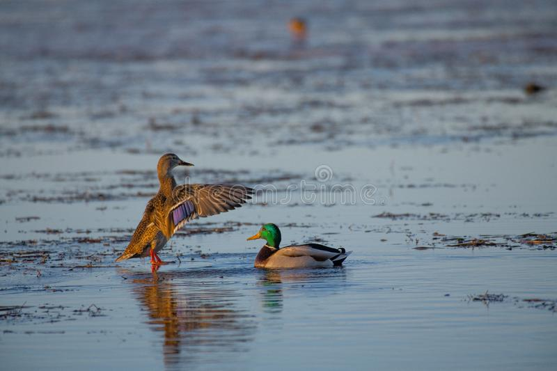 You are looking mighty fine. A pair of mallard ducks on the setting ice in Alberta . Making plans to migrate south before the lake freezes over stock images