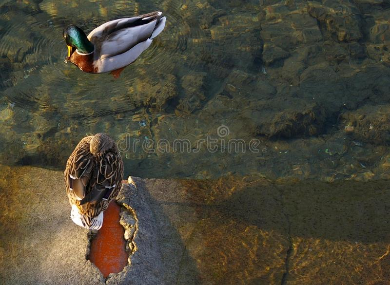 Pair of Mallards, ducks, relax in the lake. Very sweet pair of Ducks Mallard resting in the warm waters of the lake royalty free stock photo