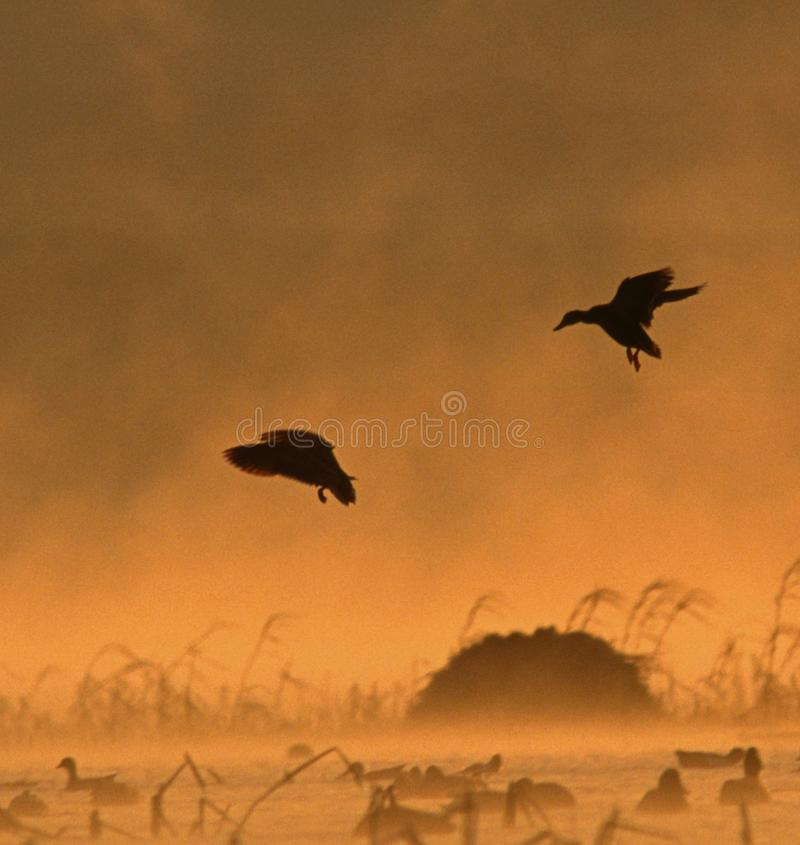A pair of Mallards land in the fog at sunrise. Silhouetted pair of mallards drops into the smoke rising from the warm water of the upper Mississippi into the royalty free stock photo