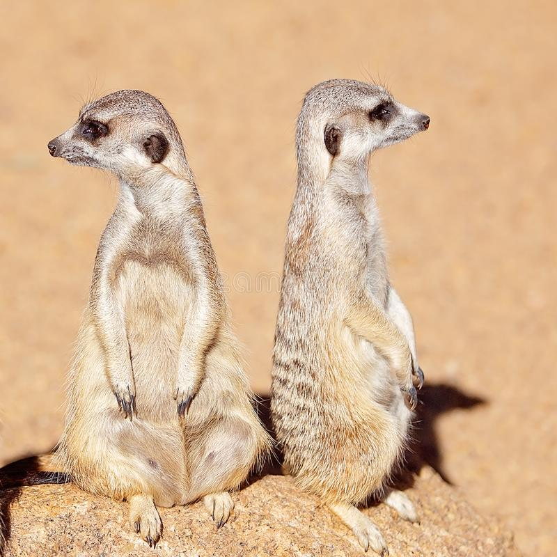 A Pair Of Meerkats Looking Around royalty free stock images
