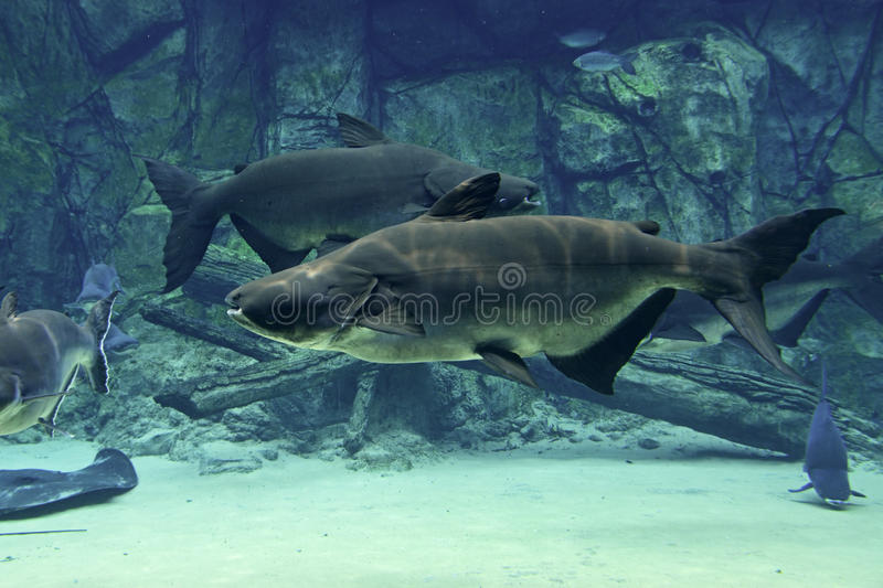 A pair of Mekong giant catfish swimming steadily in opposite direction. While feeding on zooplankton. It is critically endangered species, native to the Mekong royalty free stock images