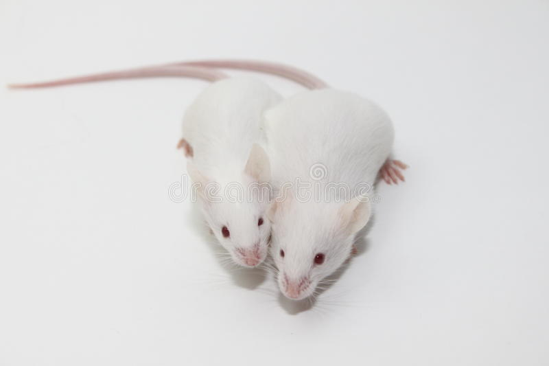 Pair of mice. Two mice playing together on a white background royalty free stock photography