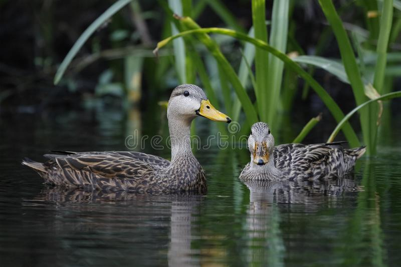 Pair of Mottled Ducks on a Florida river. Pair of Mottled Ducks (Anas fulvigula) on a Florida river royalty free stock image