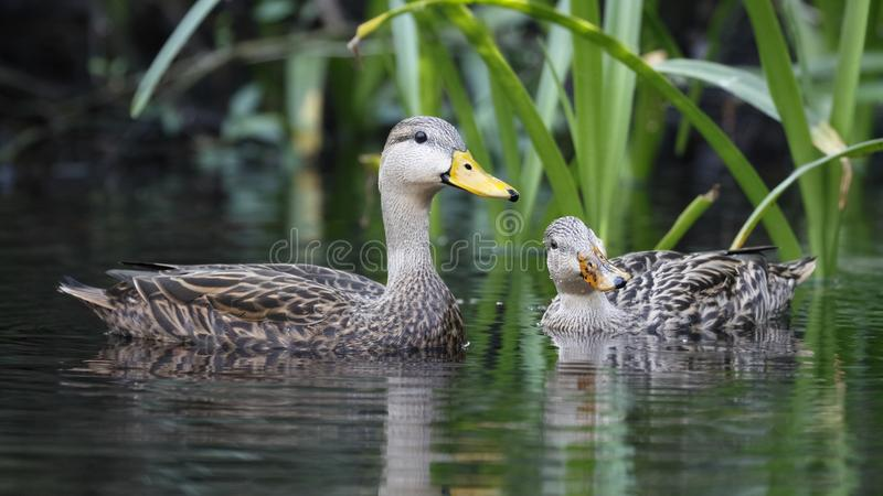 Pair of Mottled Duck on a Florida river. Pair of Mottled Duck Anas fulvigula on a Florida river royalty free stock image