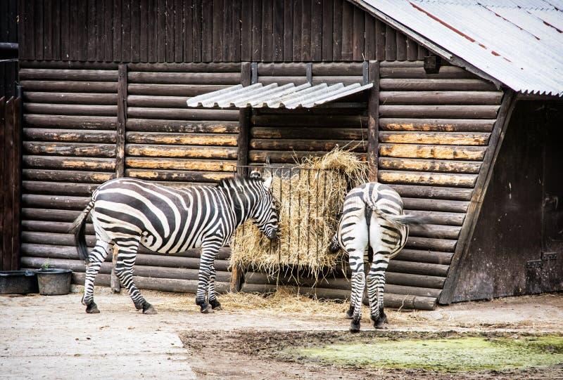 Pair of Mountain zebra - Equus zebra hartmannae feeding in captivity. Animal scene. Rear view royalty free stock photos