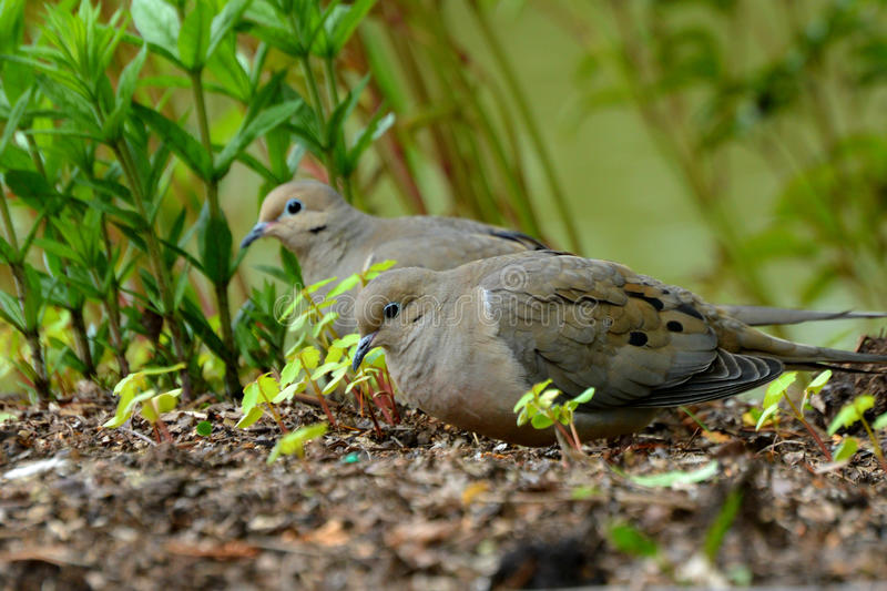 Mourning Doves. A pair of mourning doves at the Chicago Botanical Gardens in Glencoe, IL stock photo