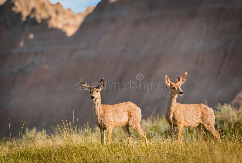 Download Pair Of Mule Deer With Badlands Ridgeline Stock Image - Image: 27190515