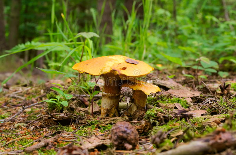 Pair of mushrooms stock photography
