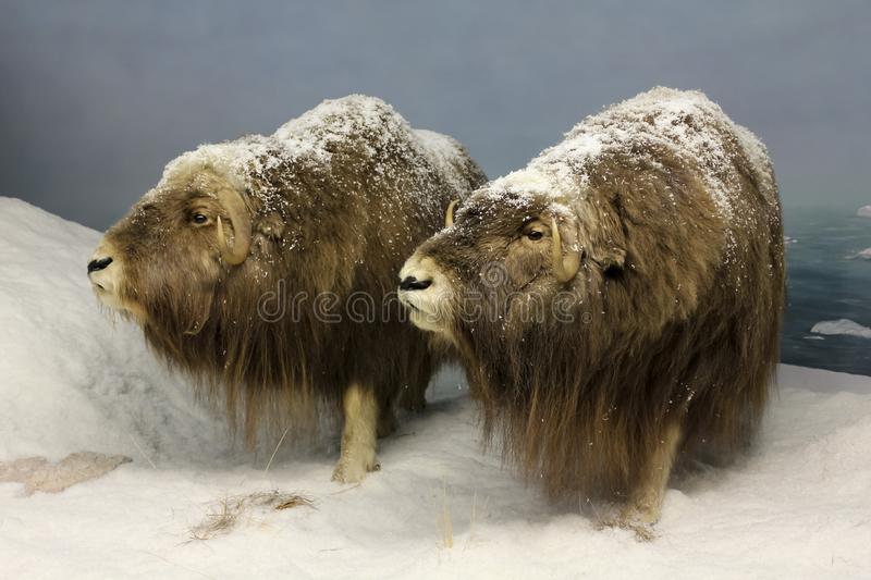 A Pair of Musk Oxen, International Wildlife Museum, Tucson, Ariz royalty free stock photography