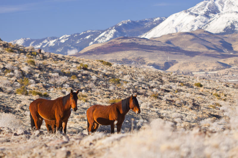 Pair of Mustangs. A Pair of Wild Mustangs in Northern Nevada in warm morning light royalty free stock photo