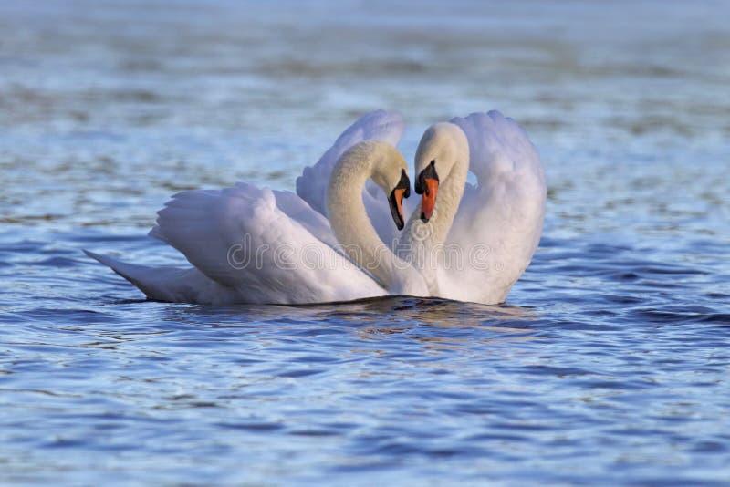 Swan Pair royalty free stock image