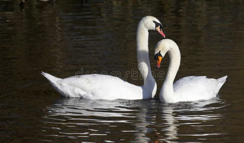 Pair of Mute Swans. This pair of elegant Mute Swans were photographed at Slimbridge WWT in the UK stock photography
