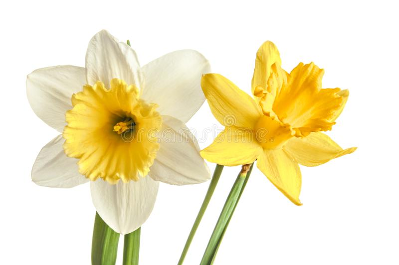 Pair of narcissus flower isolated on a white background. Pair from white and yellow narcissus flower isolated on a white background royalty free stock photography