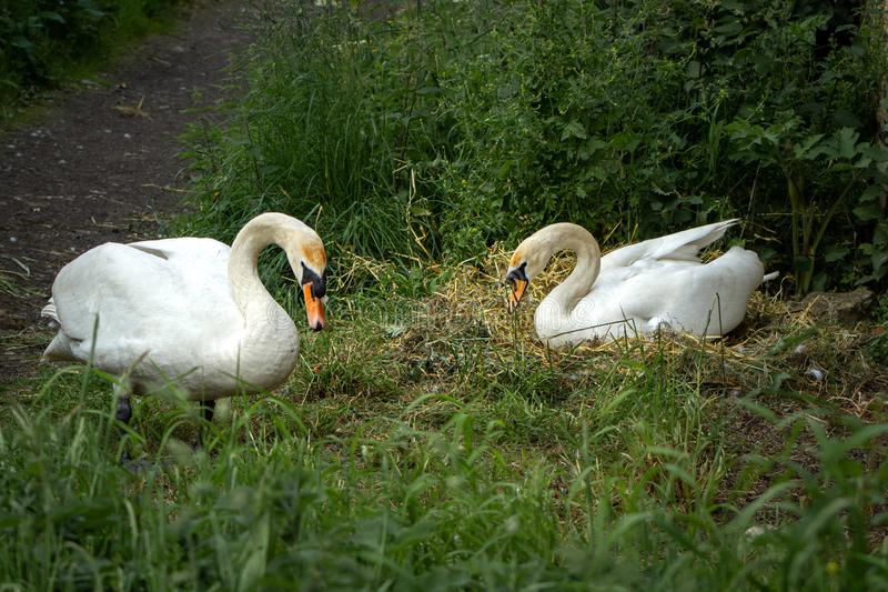 A pair of nesting swans. The male swan stands guard while his mate settles on their nest built in the grass verge of a canal-side pathway royalty free stock photo