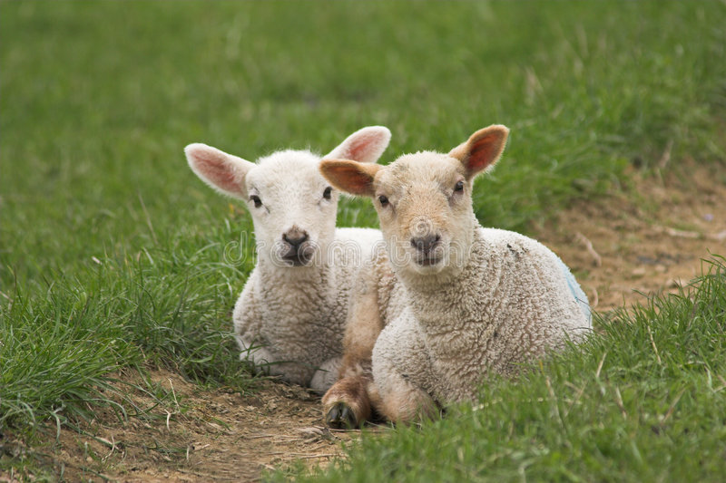 A pair of newborn lambs royalty free stock photo