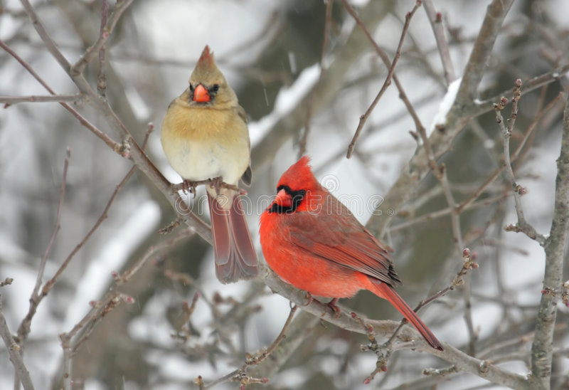 Pair Of Northern Cardinals Stock Image Image Of Couple