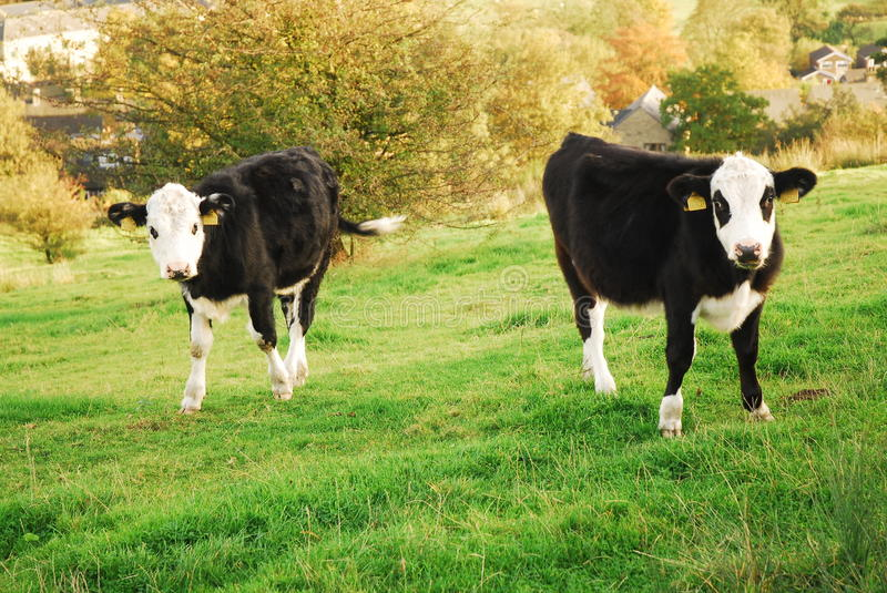 Pair o cows in a field stock image