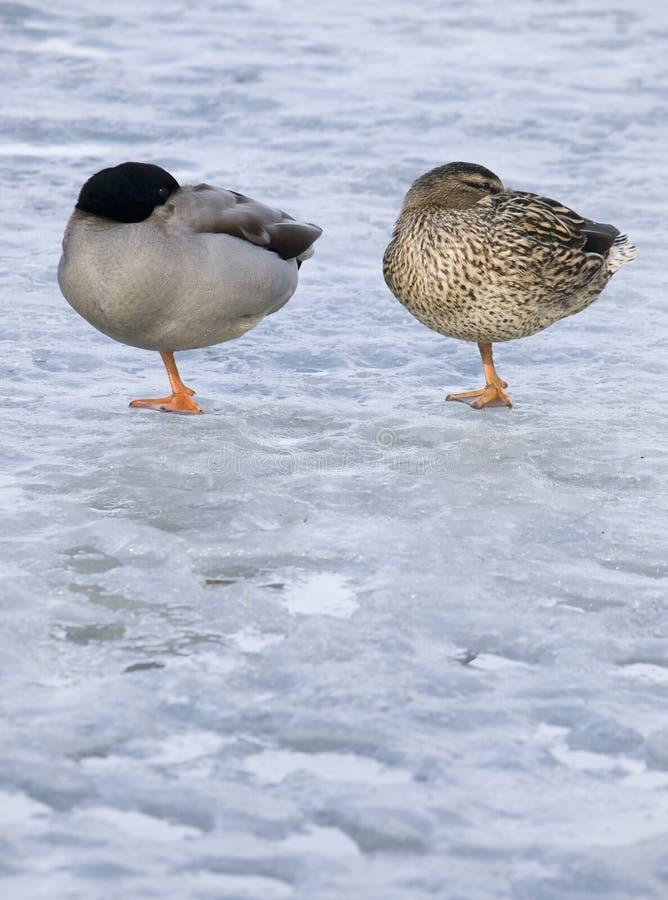Free Pair Of Ducks Royalty Free Stock Photo - 14848295