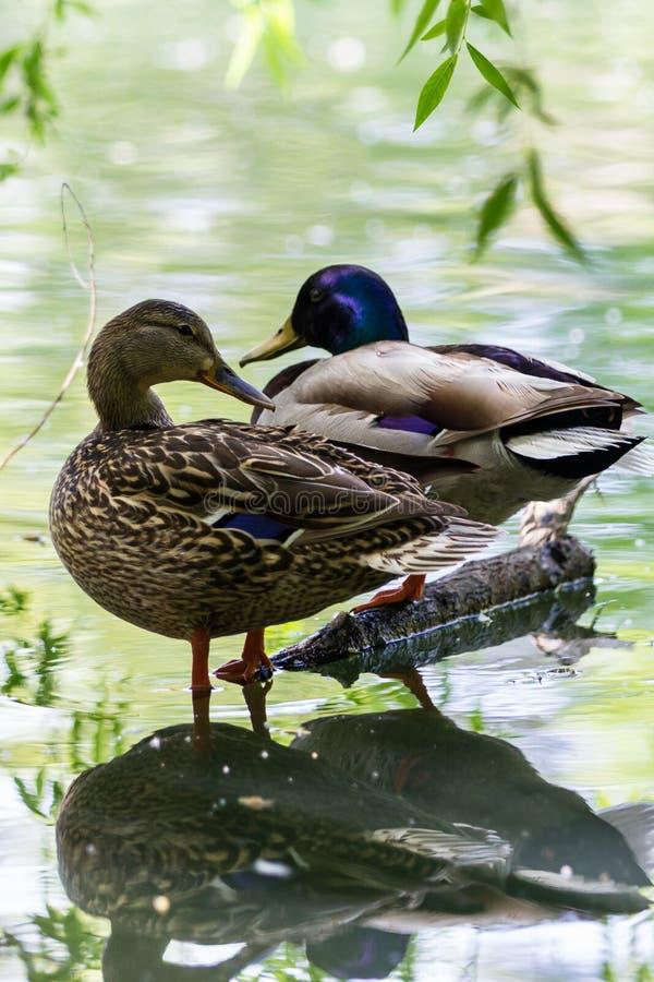 Free Pair Of Ducks Stock Photos - 57784723