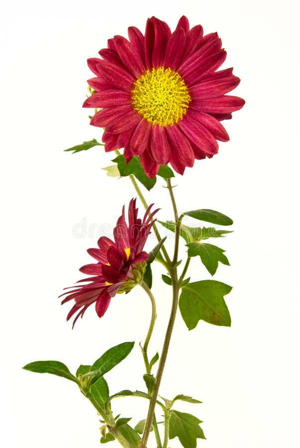 Free Pair Of Uncultivated Chrysanthemum Royalty Free Stock Photos - 3663958