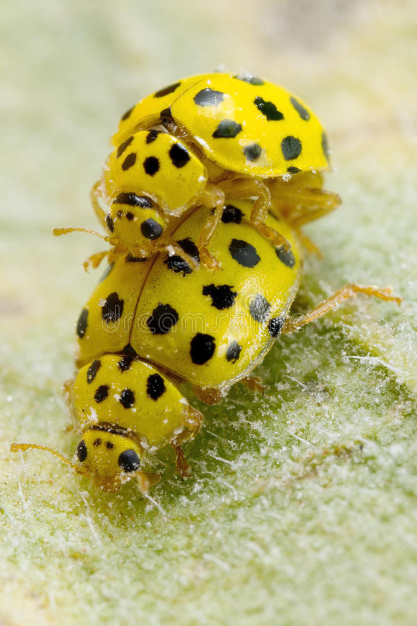 A pair ol 22-spot ladybirds. A pair of tiny 22-spot ladybirds mating on the leaves of a sunflower stock photography