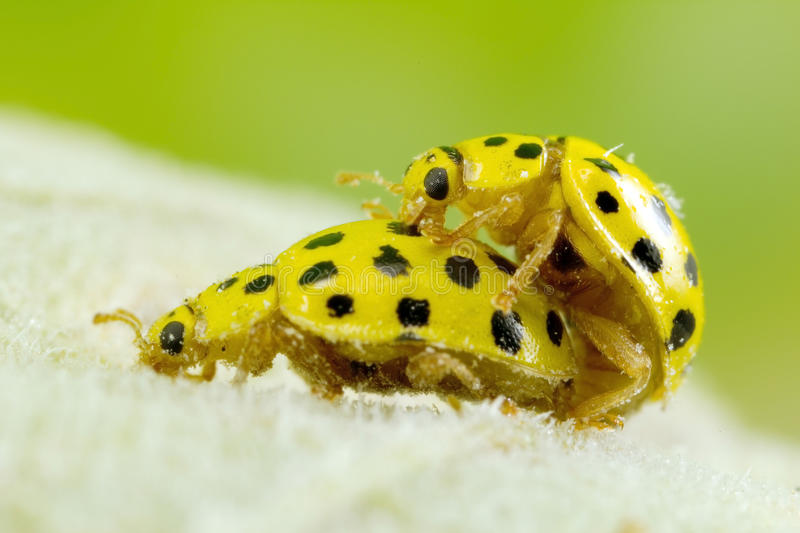 A pair ol 22-spot ladybirds. A pair of tiny 22-spot ladybirds mating on the leaves of a sunflower stock photos