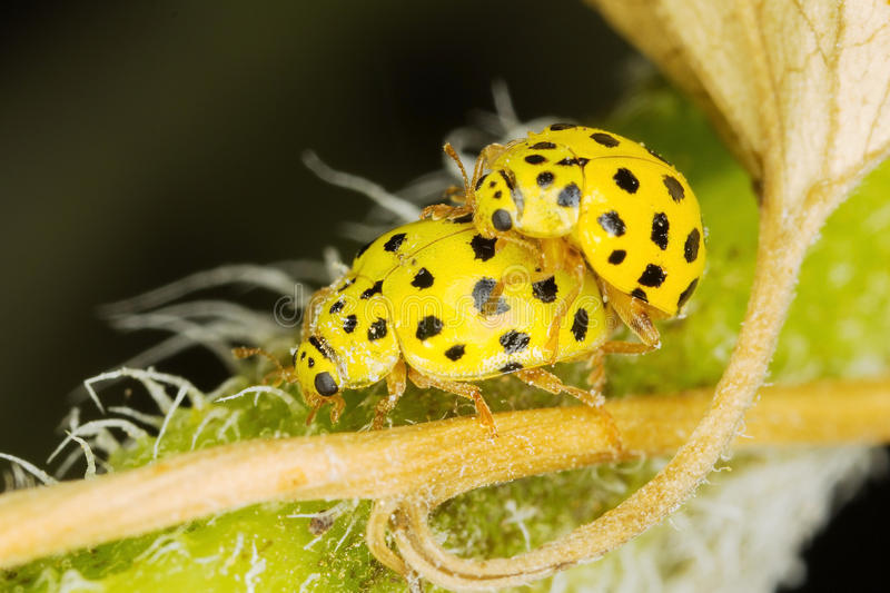 A pair ol 22-spot ladybirds. A pair of tiny 22-spot ladybirds mating on the leaves of a sunflower royalty free stock photos