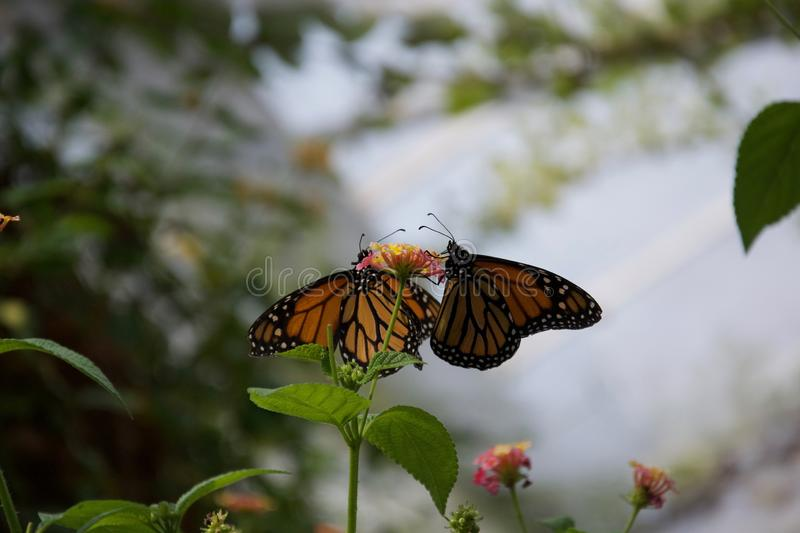 A pair of orange, black and yellow butterflies sipping from one small flower royalty free stock image