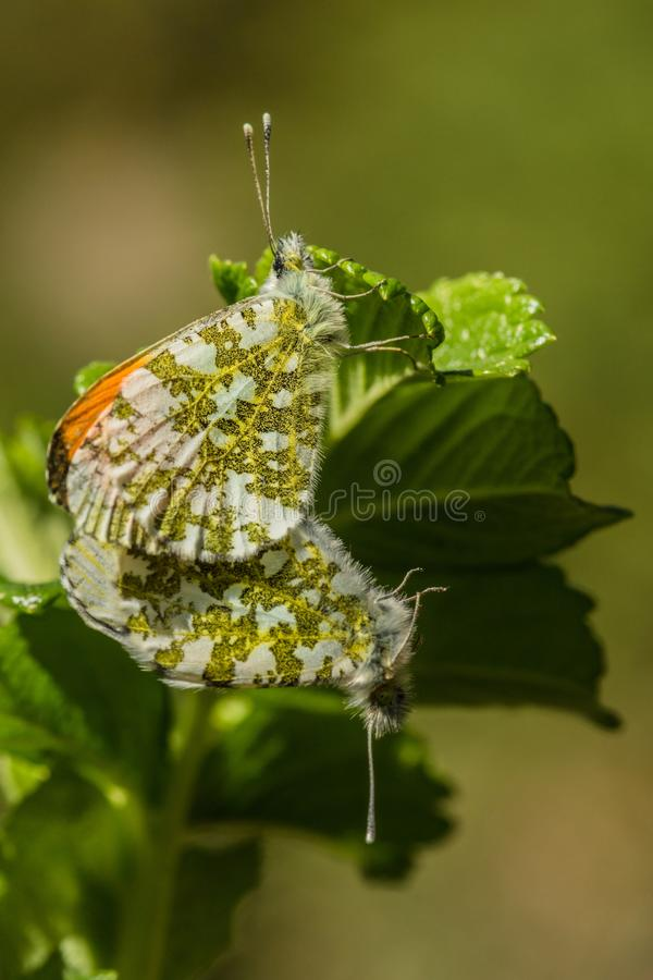 A pair of orange tip butterflies mating on green leaf stock image