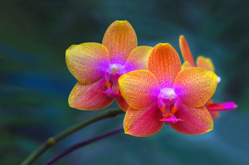 Pair of Orchids. With natural background