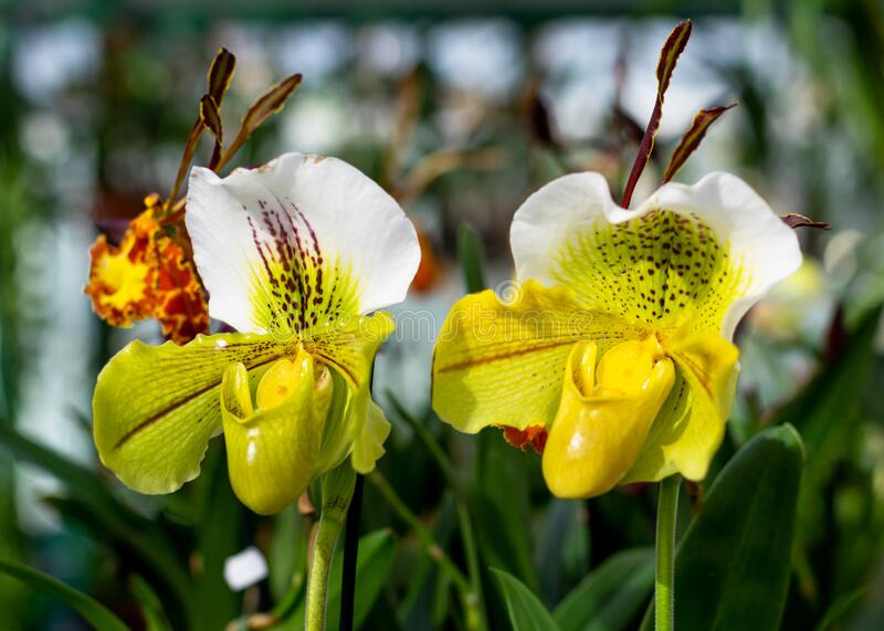 Pair of orchids with tongue from exhibition of orchids in Vienna.  royalty free stock photography
