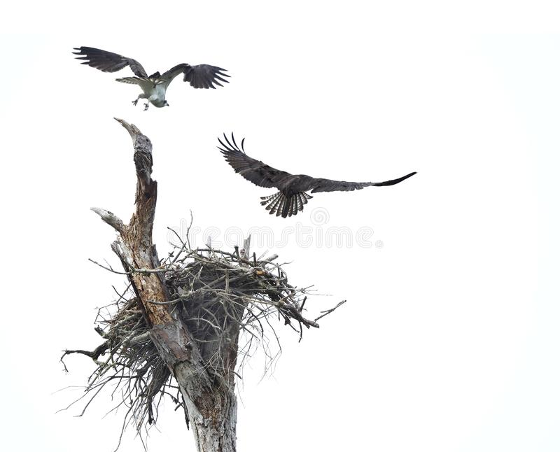 Pair of Osprey Fly From Their Nest After Being Spooked on a Cloudy Overcast Day. Pair of Osprey Fly From Their Nest After Being Disturbed on a Cloudy Overcast stock image