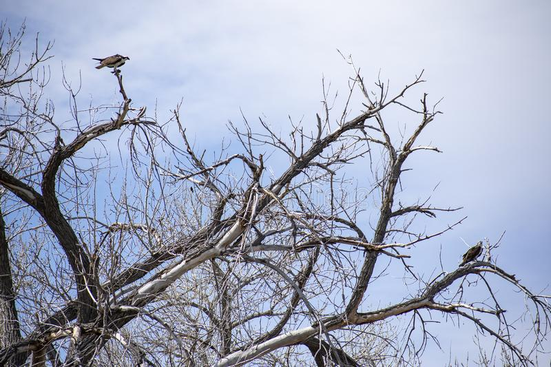 Pair of Ospreys in Bare Tree. Mated pair of Osprey, in a barren tree along the Arkansas River near Pueblo, Colorado. Taken in late Spring. Liked how the pale stock images