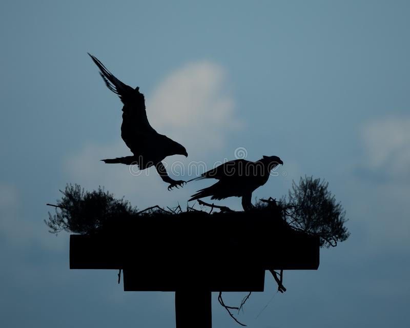 Silhouetted Ospreys in Nest. A pair of ospreys silhouetted against the evening sky on Chesapeake Bay in Virginia, with one`s wings uplifted as it lands royalty free stock photos