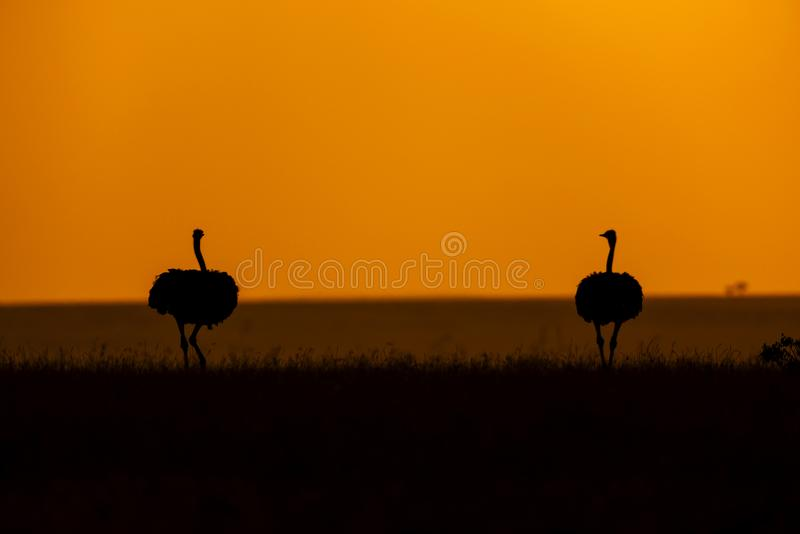 Pair of Ostrich, Struthio camelus, Silhouette in golden sky, Maasai Mara, Kenya, Africa stock photo