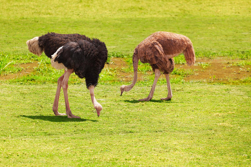 Pair of ostriches feeding at Kenyan grassland royalty free stock images